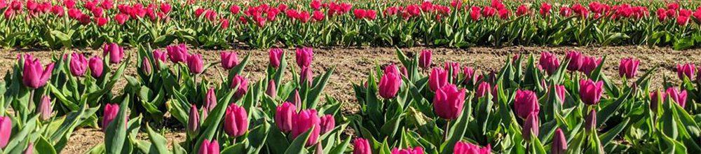 Dalton Farms Drive Thru Tulip Tour Visitsouthjersey Com